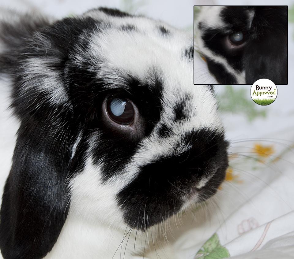 Bunny's Cataract Surgery   Bunny Approved   House Rabbit Toys ...